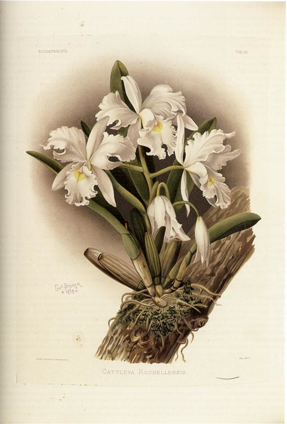 SANDER-Henry-Frederick-Conrad-Reichenbachia-orchids-illustrated-and-described-Le-plus-beau-des-ouvrages-