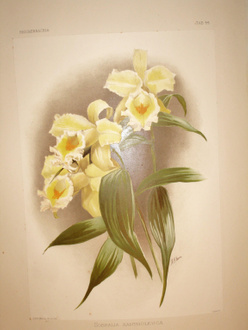SANDER Henry Frederick Conrad Reichenbachia orchids illustrated and described Le plus beau des ouvra...