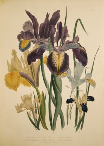 LOUDON-Jane-Webbs-The-Ladies-flower-garden-of-ornamental--58-bouquets-lithographies-et-rehausses-
